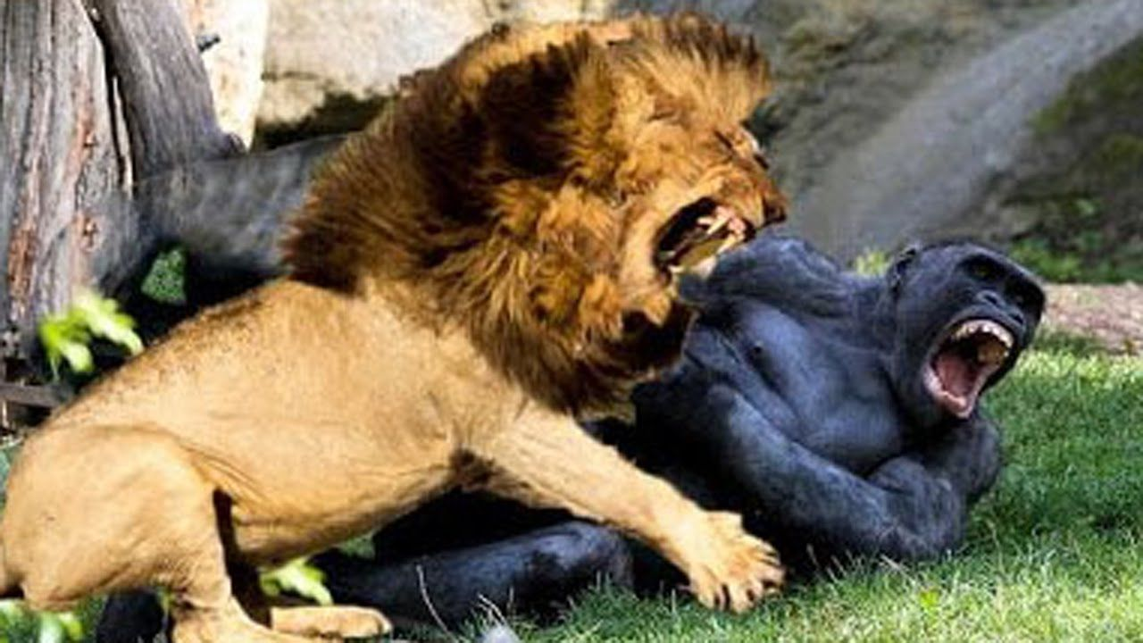 Tiger Vs Gorilla Lion vs gorilla real fight hoax or not