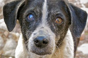 Cataracts In Dogs Are Common In Diabetic Dogs Many People
