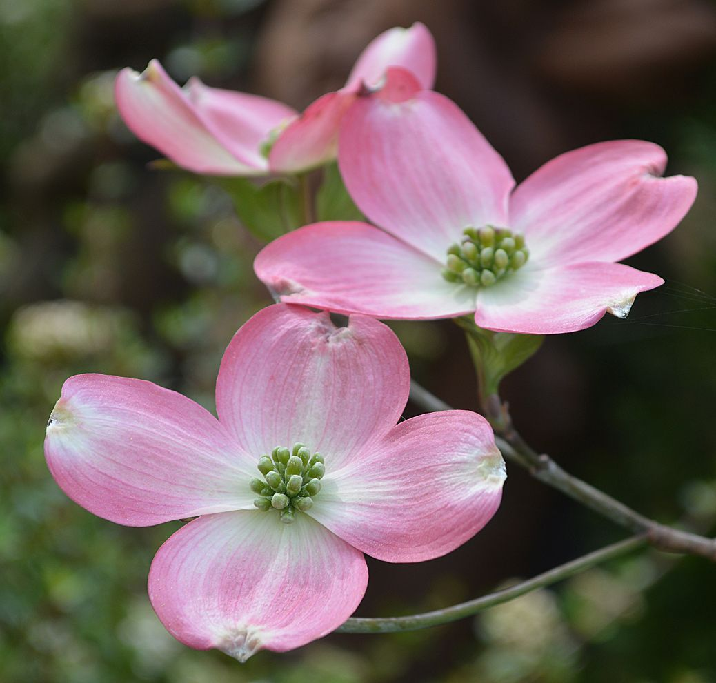 Pink Dogwood The Landscape Of Us Tat Ideas And Inspiration