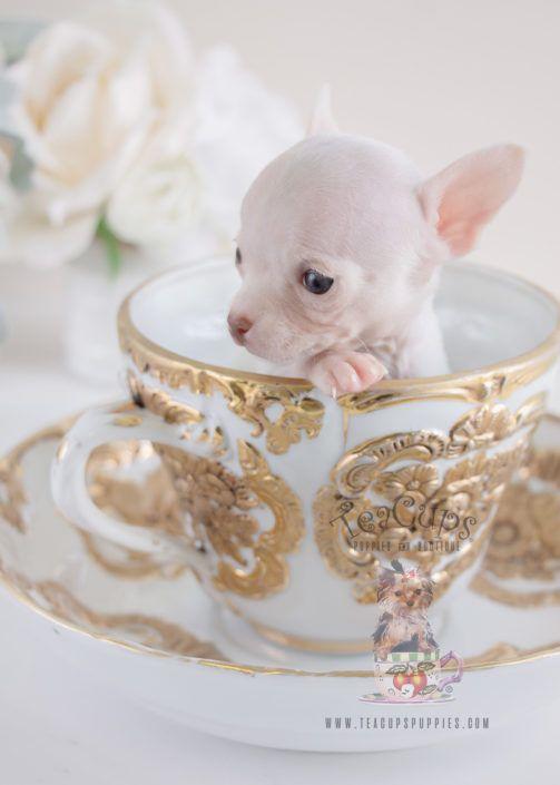 Tiny Teacup Chihuahua Puppy For Sale 068 Teacup Puppies Cuccioli Di Chihuahua Cuccioli Di Cani E Cuccioli