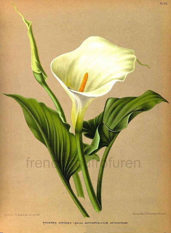 Antique Victorian Botanical Print Calla Lily Illustration Etsy Flower Drawing Flower Art Tropical Flowers Illustration