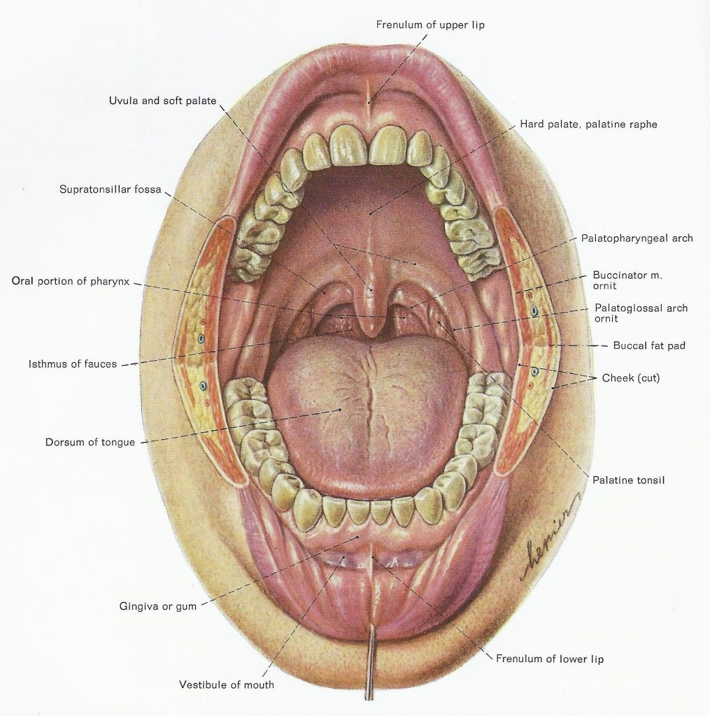 Diagram Of Under The Tongue Mouth Anatomy Under Tongue Anatomy Chart
