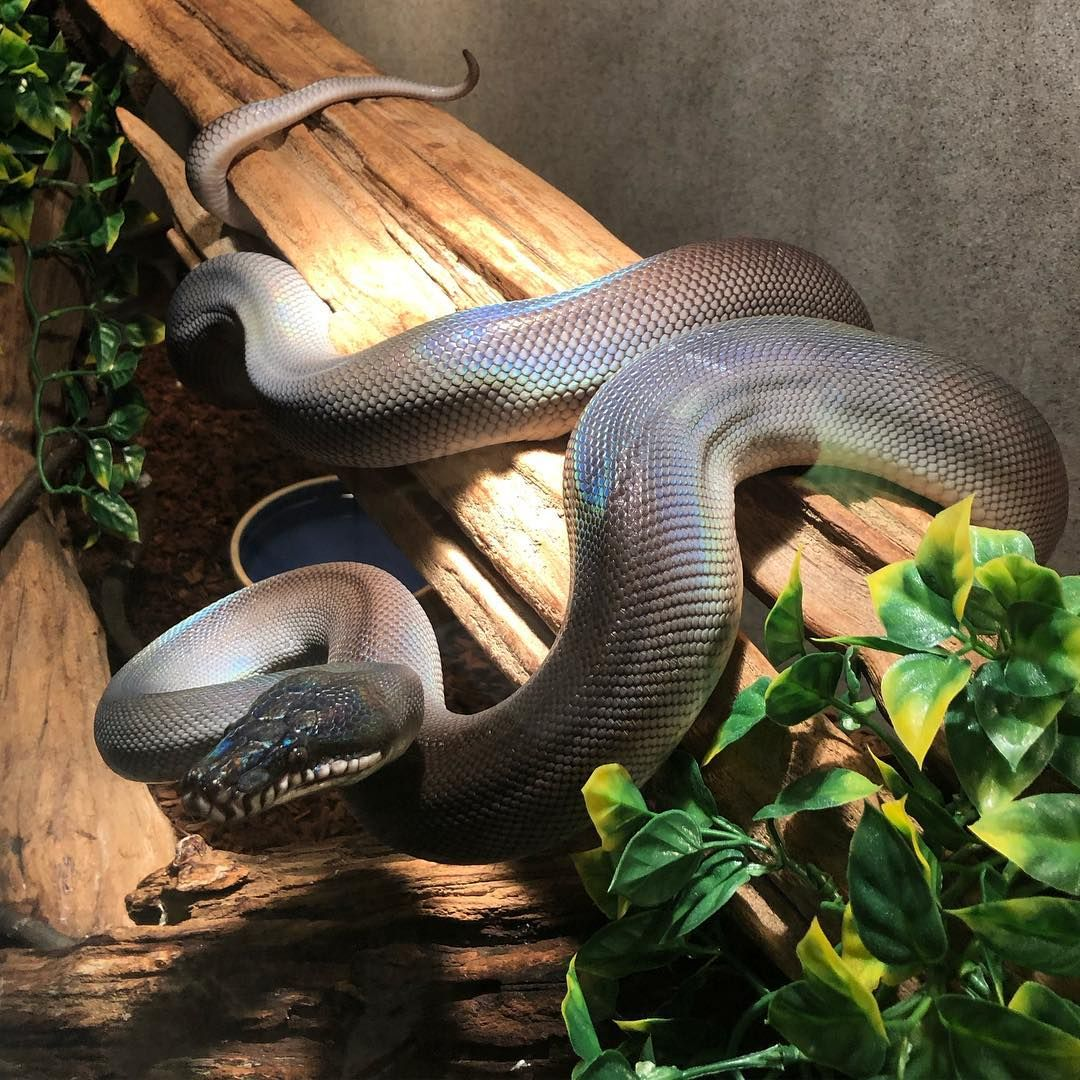 Southern white lipped python striking a pose in the breeding room at