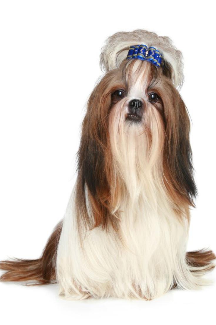Shih Tzu Dog Sits On A White Background Shihtzu Shih Tzu Dog Shih Tzu Dog Stock Photo