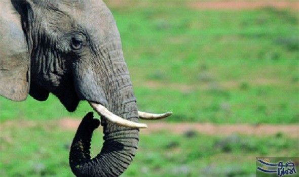 فيل يقتل حارسه التايلاندي بخرطومه أعلنت الشرطة اليابانية أن أحد رعاة الحيوانات لقي حتفه بعد أن ضربه فيل يقوم على رعايته بخرطو Elephant Shooting Video Animals