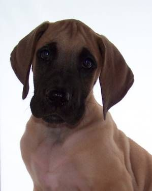 Video Akc Great Dane Fawn Puppies Health Guarantee Dogs And