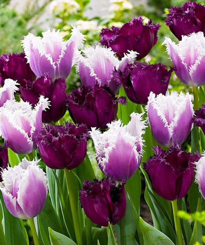 Pin By Maria Consuelo Barrientos On Flowers Bulb Flowers Tulips Flowers Purple Tulips
