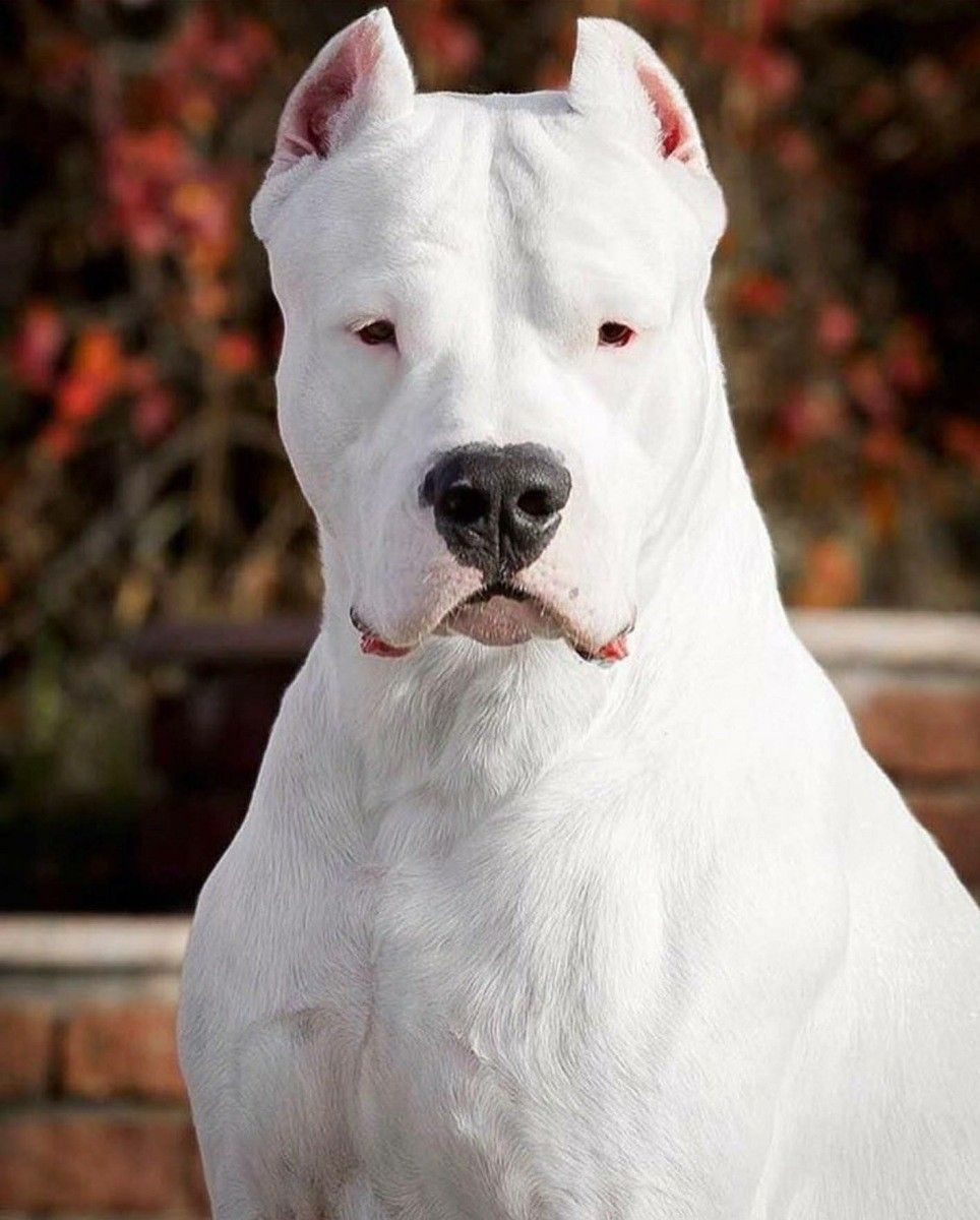 Pin By Stephen Griffith On Dogos Dog Breeds Dog Argentino Beautiful Dogs