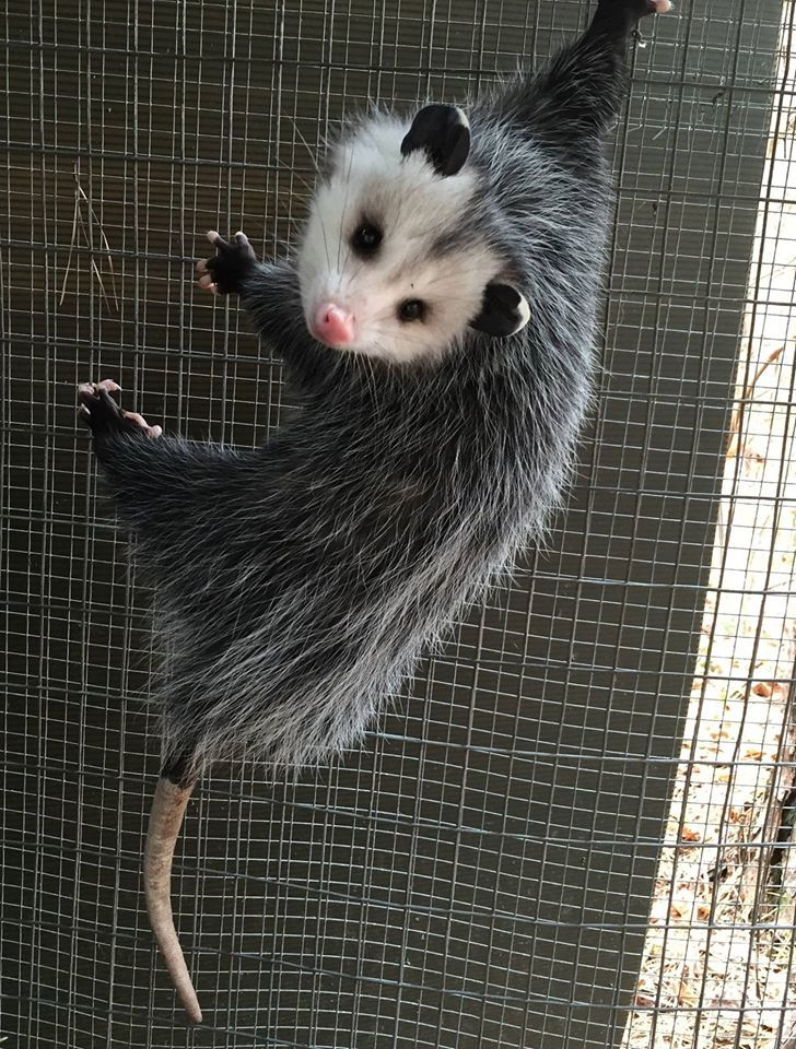 Atlanta Wild Animal Rescue Effort Aware Wild Animal Rescue Baby Possum Awesome Possum