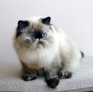 cats with hair