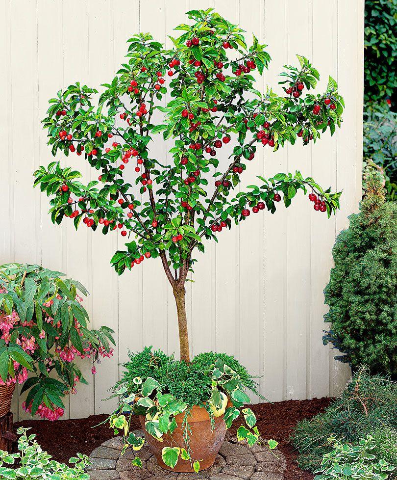 Les 25 meilleures id es de la cat gorie cerisier napoleon for Alberelli ornamentali