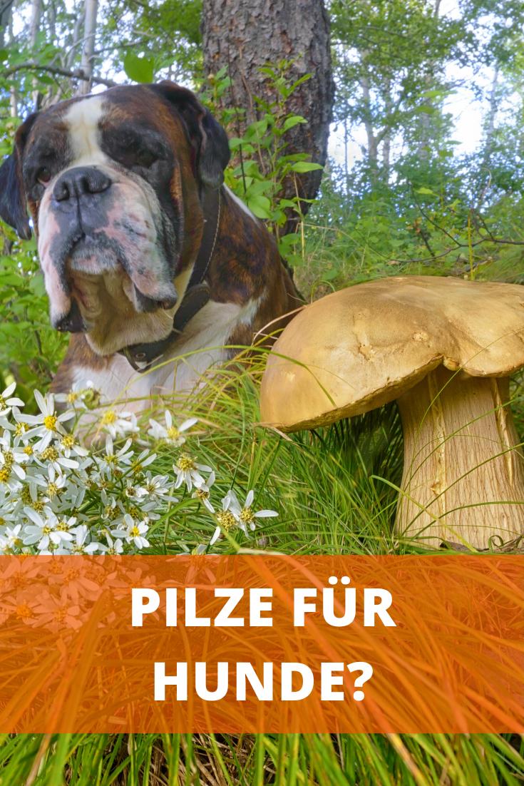Durfen Hunde Champignons Essen Roh Gekocht Oder Immer Giftig Champignons Hunde Ernahrung Pilze