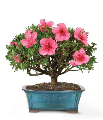 Mother S Day Plant With Pink Flowers