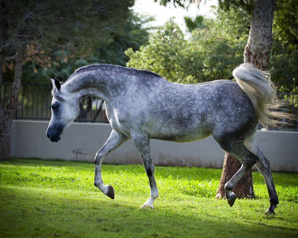 Color:  Dapple Gray.  This Arabian horse is in a medium/ligher stage of dappling.