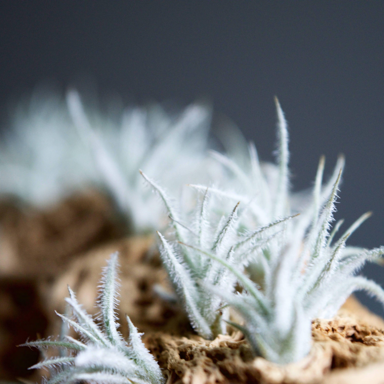 Tillandsia Tectorum Pup // Tiny, Fuzzy Baby Air Plant