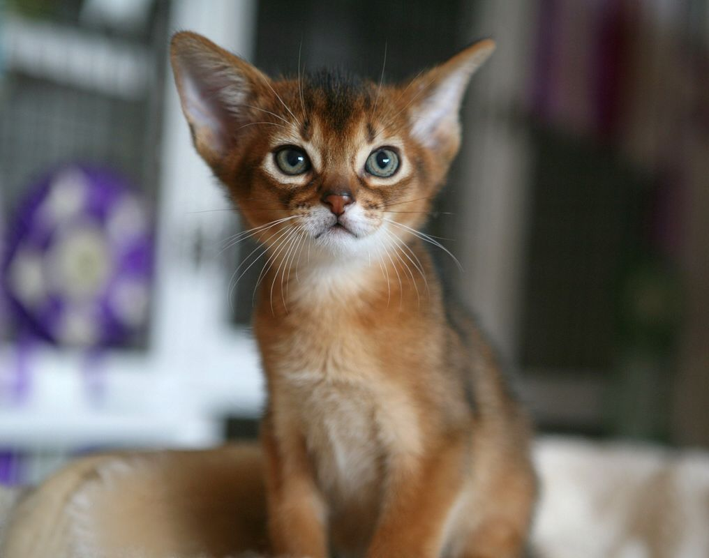 Abysinian cat | Cats big and small | Pinterest | Cat, Abyssinian ...
