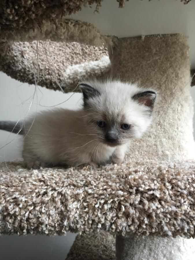 Adorable Seal Pointed Female Rug Hugger Munchkin Napoleon Kitten Ready For New Forever Home in Warren, Ohio - Hoobly Classifieds