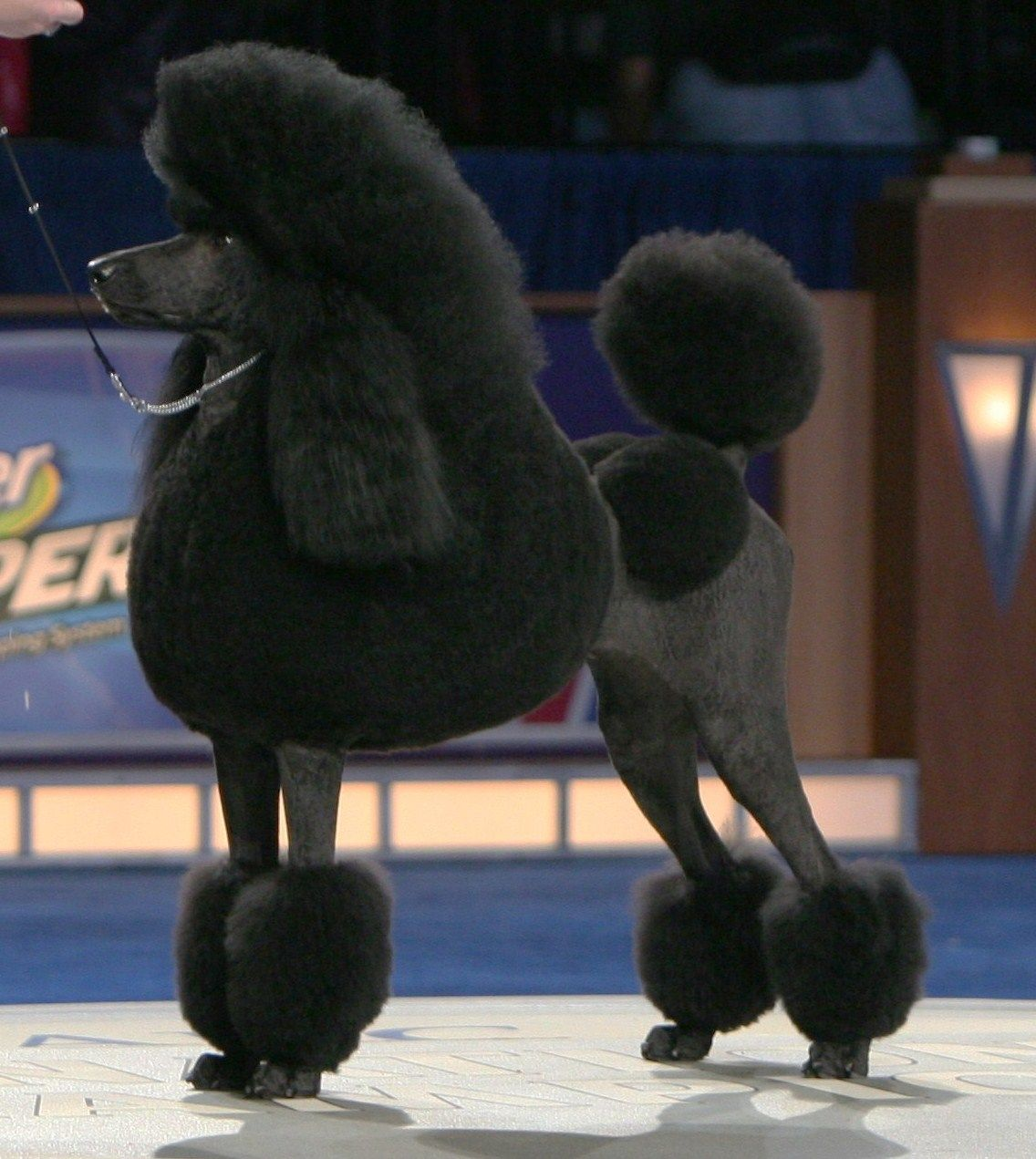 A Black Poodle Named Anthony Won My Heart When I Was 19