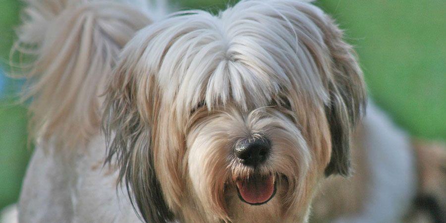 PON Polish lowland sheepdog, Unusual dog breeds, Wolf dog