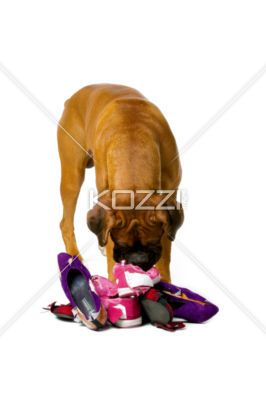 boxer sniffing on shoes - Boxer sniffing through a stack of torn shoes.