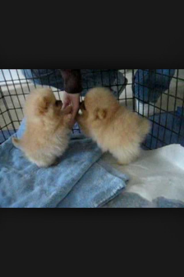Male And Female Pomeranian Puppies For Adoption Please Text 9036914332 For More Info Pomeranian Puppy Cute Baby Animals Cute Animals