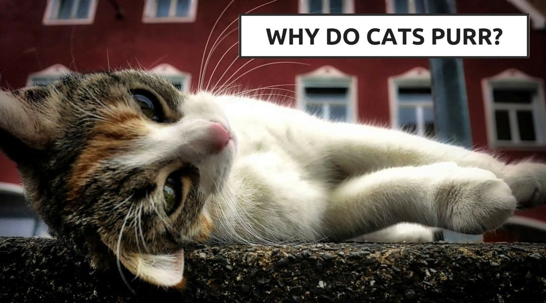 Why Do Cats Knead Cat Kneading Explained Why Do Cats Purr Cool Cat Trees Cat Biting
