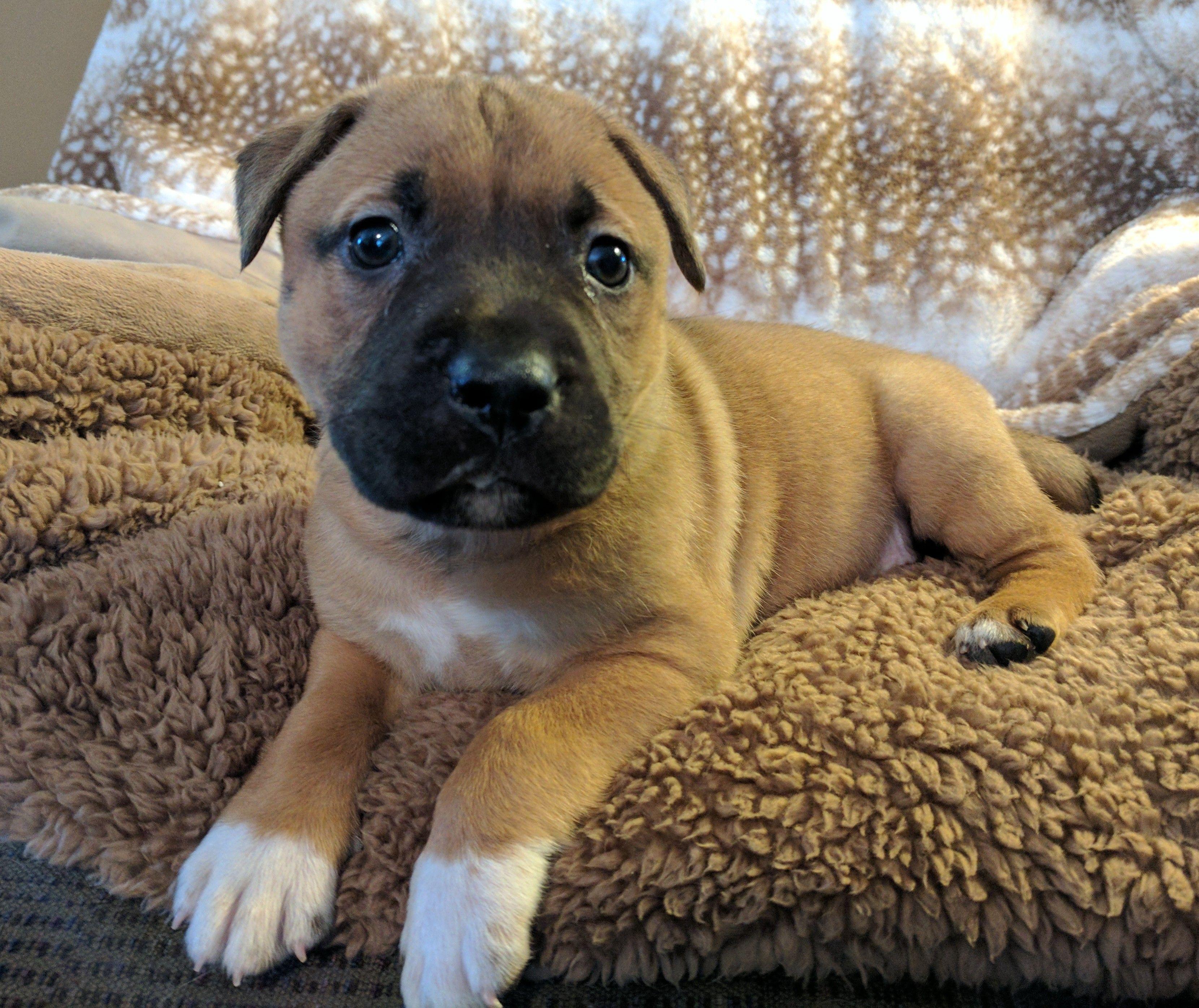Bull Boxer Dog For Adoption In Nashville Tn Adn 557407 On