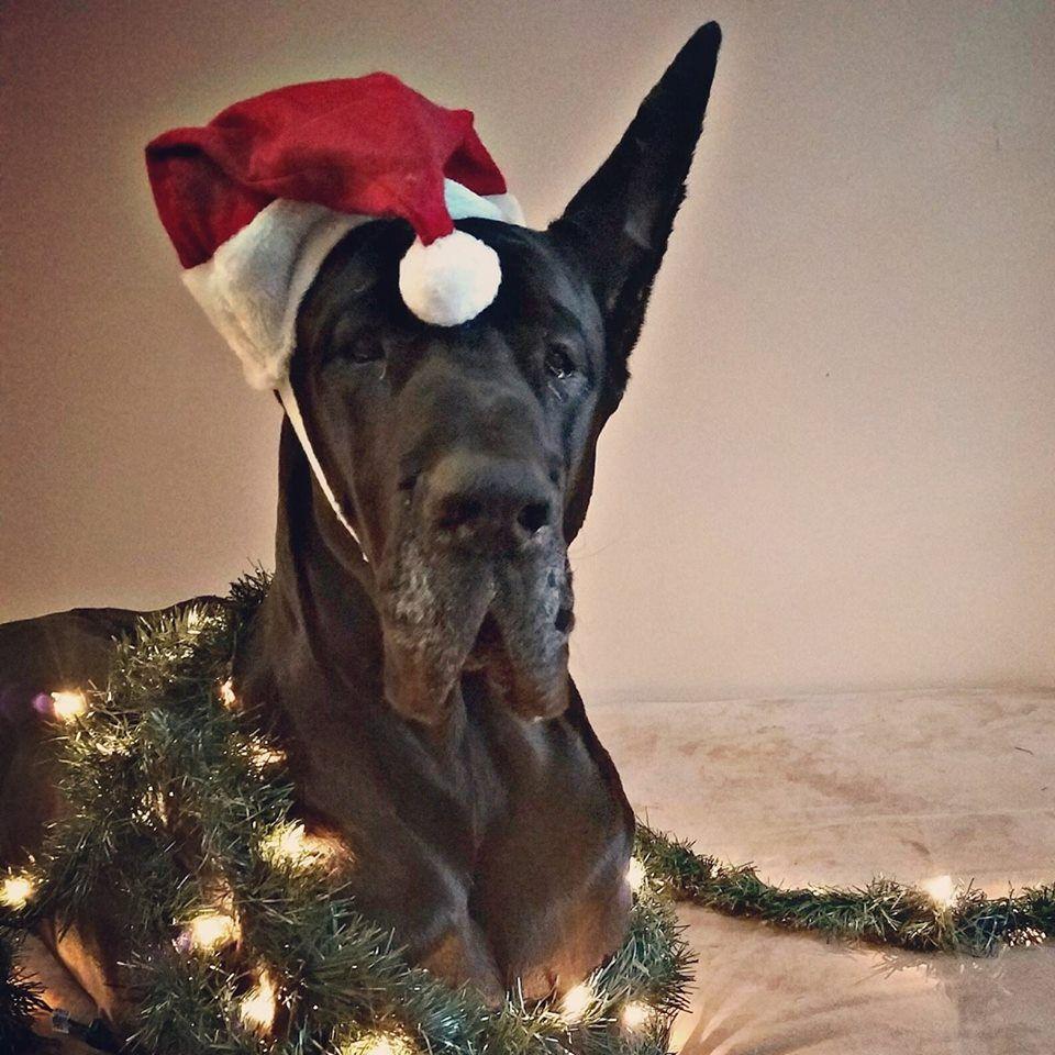 Enzo Black Great Dane Grand Champion Christmas Time Dane Dog