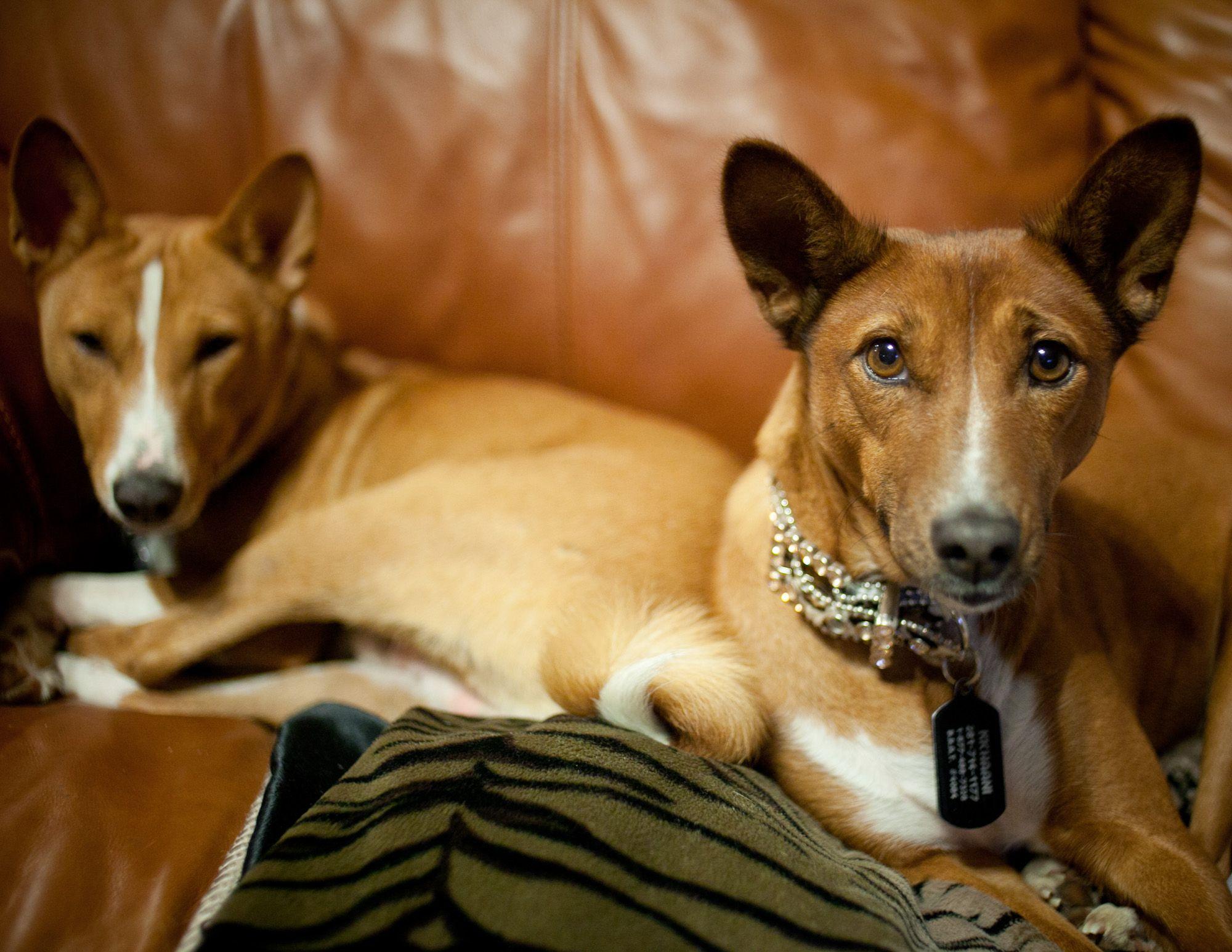 Basenji's in Texas! Basenji dogs, Dogs, Puppies