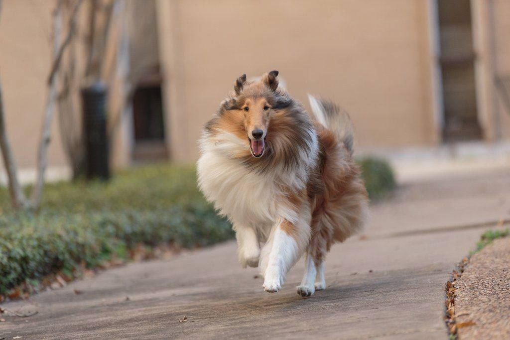 Reveille Ix On Rough Collie Collie Dog Dogs Puppies
