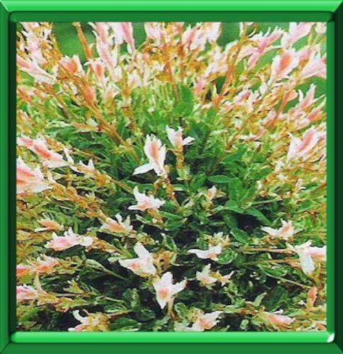 saule crevette ou salix integra 2015 garden pinterest saule crevette plantation et semis. Black Bedroom Furniture Sets. Home Design Ideas