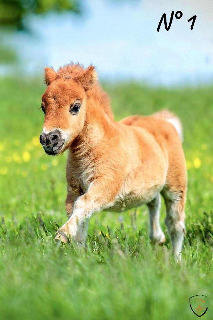 Le Plus Petit Cheval Du Monde : petit, cheval, monde, Beaux, Chevaux, Miniature, Monde, #horses#cheval#cute#petitcheval#tropmignon#socute#horse, Animaux,, Bébés, Animaux, Mignons,, Poulains