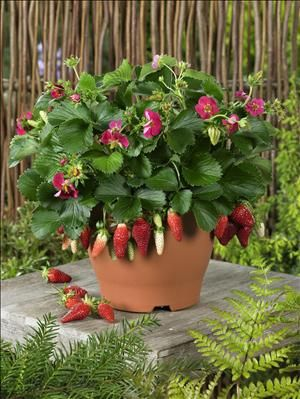 Tristan strawberries pink flowers good for pots i want to grow tristan strawberries pink flowers good for pots i want to grow these just because of the name mightylinksfo
