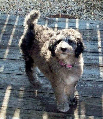 Aussidoodle Puppies Puppy Mix My Animal