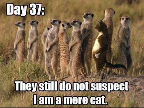 Image result for cats and meerkats""