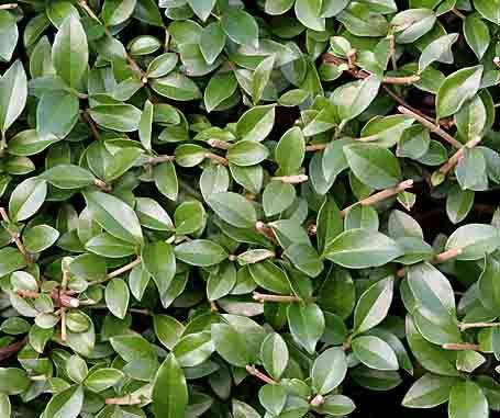 Mein-schöner-Gartende die besten Heckenpflanzen gegärtnertes - heckenpflanzen