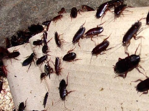 Get Rid Of Cockroaches By Making This 3 Ingredient