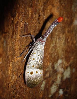 Lantern Bug/Lantern Fly (Laternaria ruhli)
