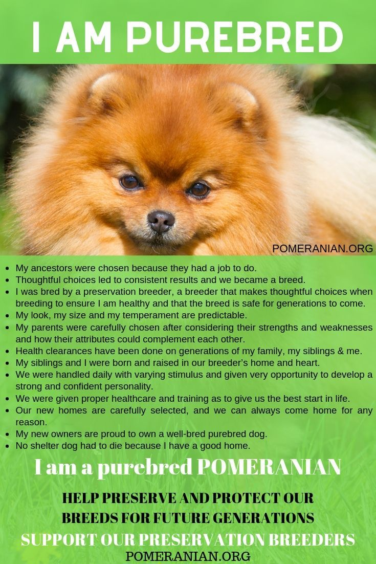 I Am A Purebred Pomeranian In 2020