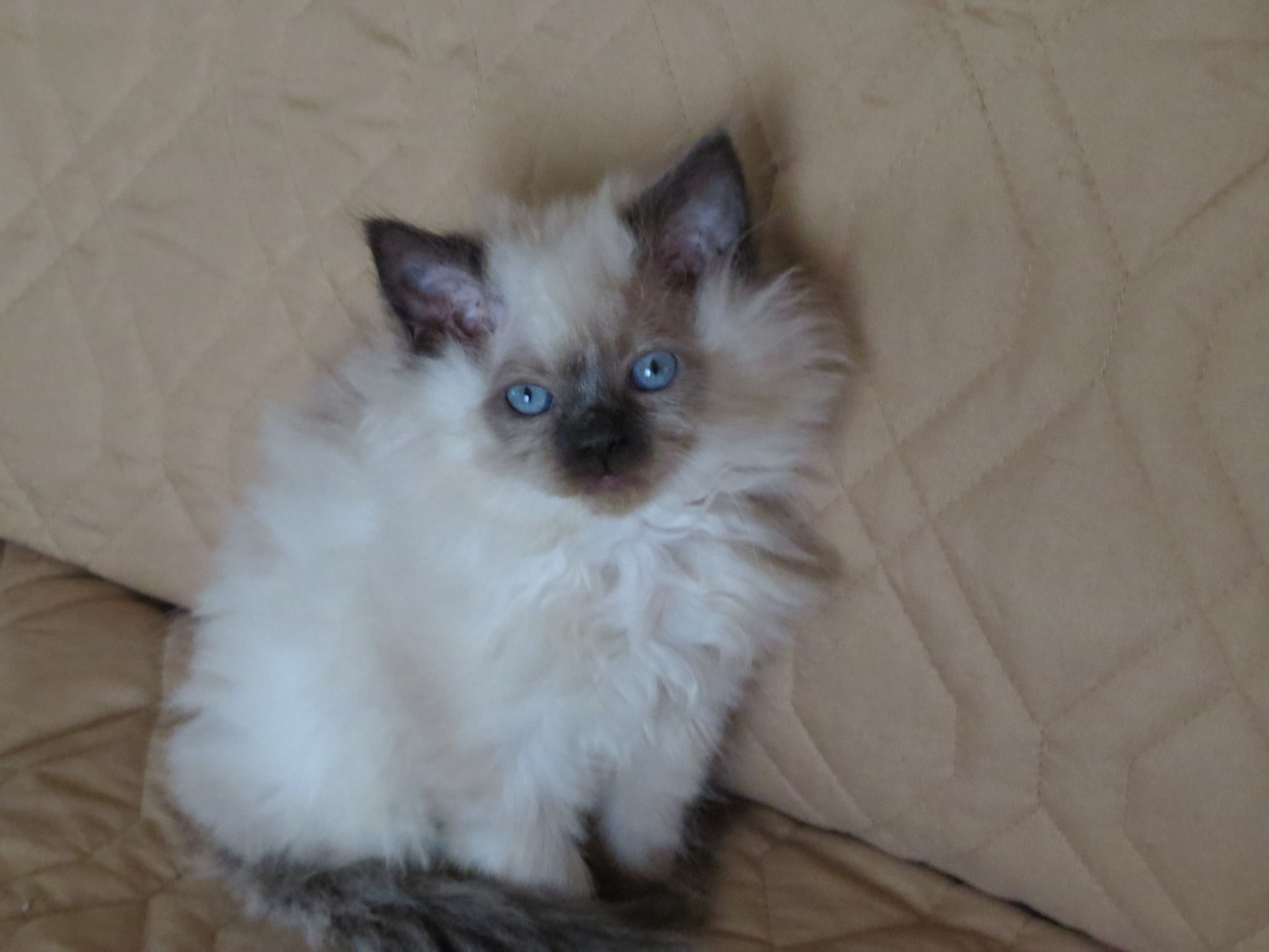 Himalayan Persian Kittens Ready For New Year Cats For Sale Himalayan Cat Himalayan Cat For Sale