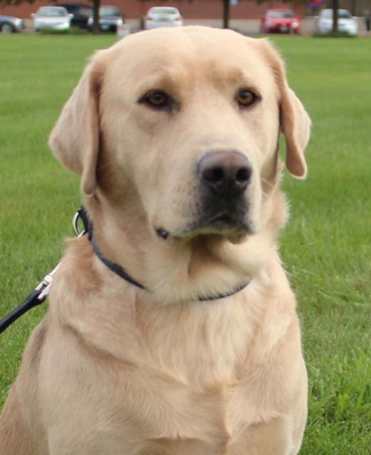 Captain is a yellow lab who is available for adoption from