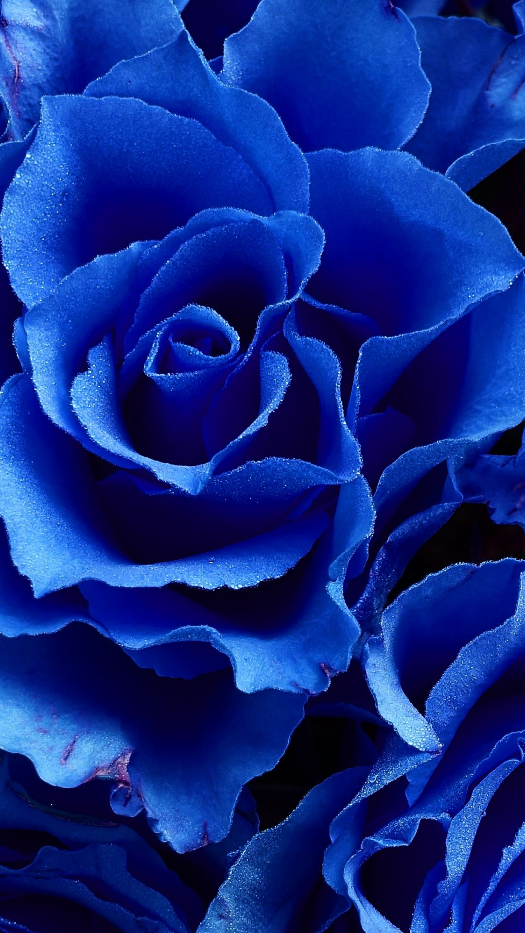 Blue Rose Flowers Close Up Wallpaper Blue Flower Wallpaper