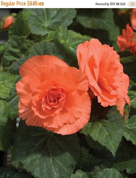 Begonia Orange 3 Bulbs One Of The Most Popular Perennials For Shade Flower Seeds Tuberous Begonia Flowers