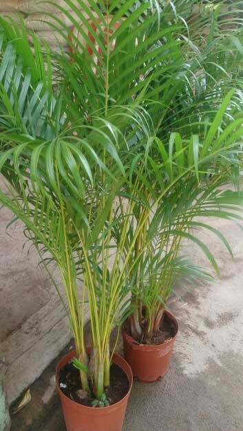 489874884a8bf30a5916e9a3acf22b66 Palm Tree Houseplant Care on palm tree types and care, dwarf palm tree care, palm tree entertainment, fan palm plant care, palm tree desk lamp, potted palm tree care, phoenix palm care, indoor palm trees care, fittonia argyroneura care, palm tree bonsai care, palm tree diseases and cures, areca palm tree care, palm tree care guide, kentia palm tree care, palm tree sunlight, palm tree trunk care, queen palm plant care, palm tree bamboo care, palm tree norfolk pine, palm tree plants,