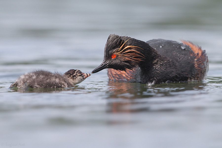 Sharing - Black-neked Grebe by Siegfried Noët on 500px