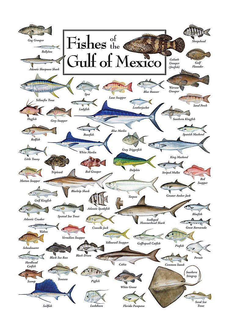 Fishes of the gulf of mexico regional fish poster for Florida saltwater fishing regulations quick chart