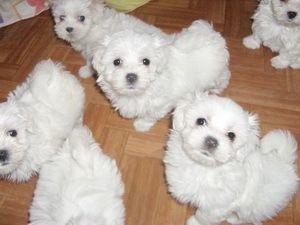 Pin Von Debbie Divito Biancardi Auf I Love Dogs Bolonka Zwetna Bolonka Mini Pinscher