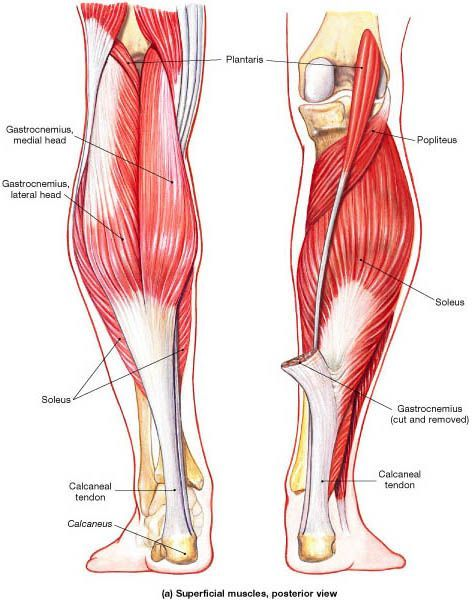 Muscles that Move the Foot and Toes | health | Pinterest | Muscles ...
