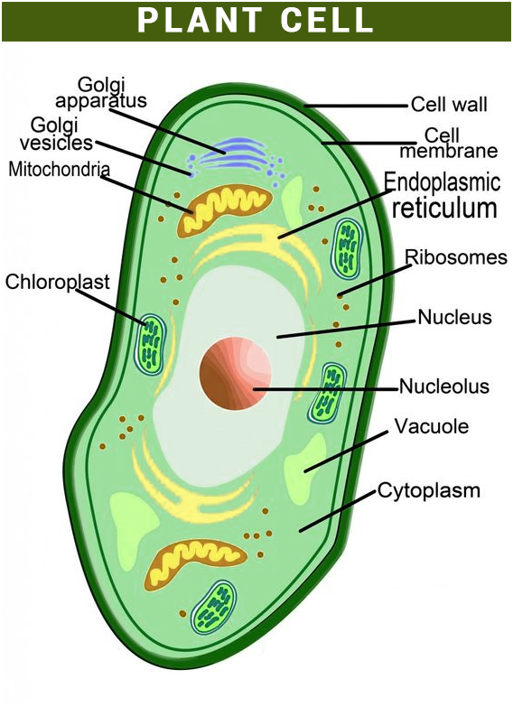 Plant Cell Diagram Plant Cell Structure Plant Cell Diagram Plant Cell Project