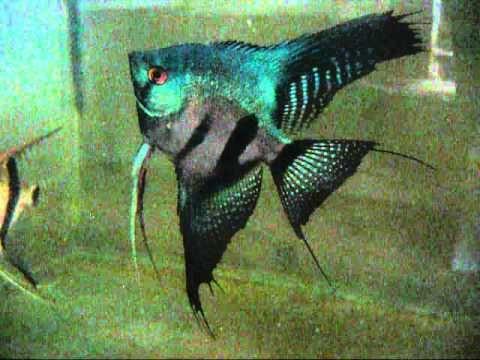 Pterophyllum Scalare Pinoy Ghost Angelfish Youtube